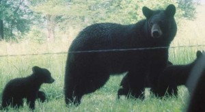 family-of-black-bears1-300x164