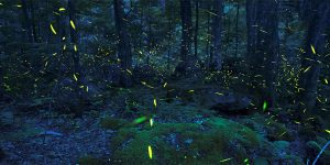 Synchronized Lightning bugs